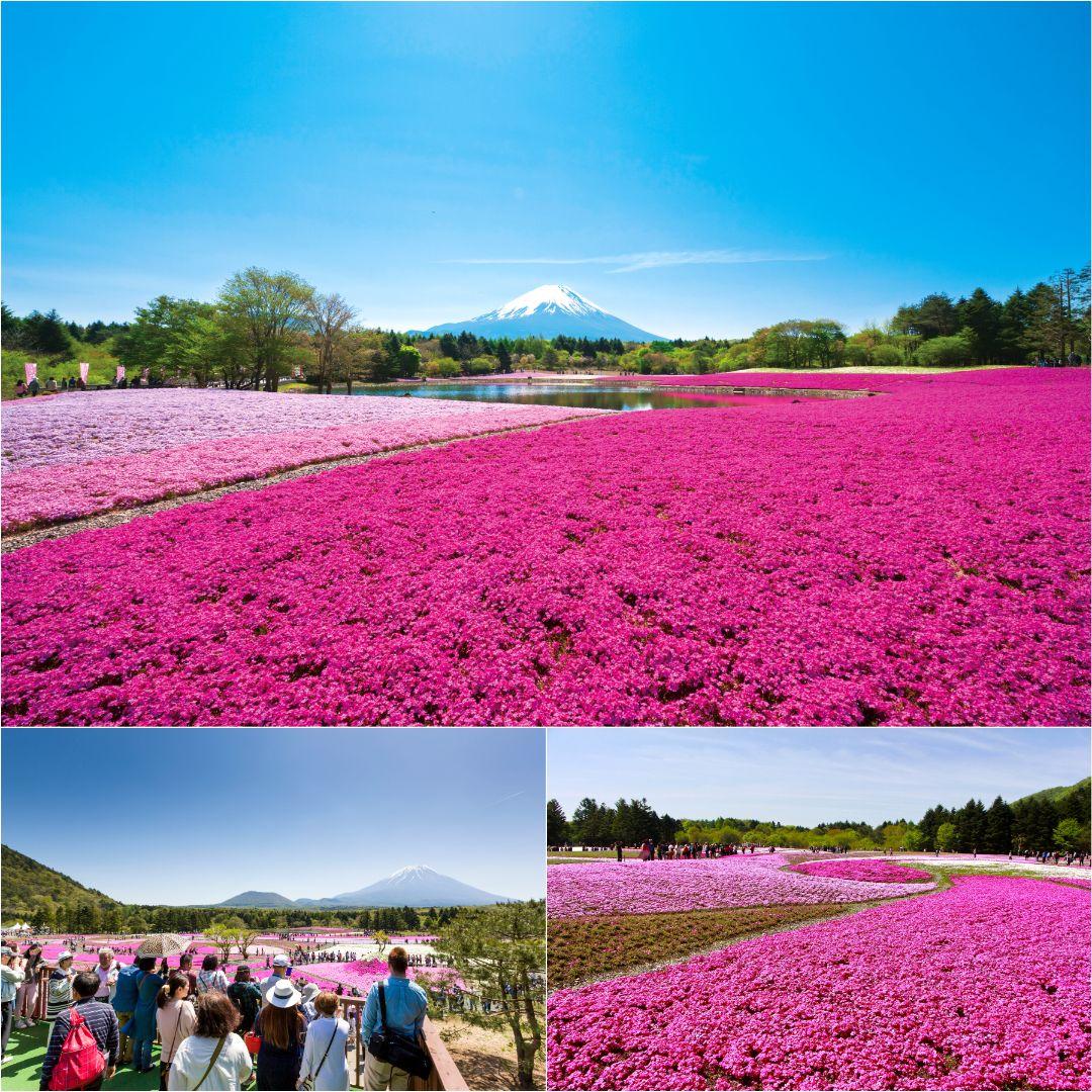 The Fuji Shiba-sakura Festival
