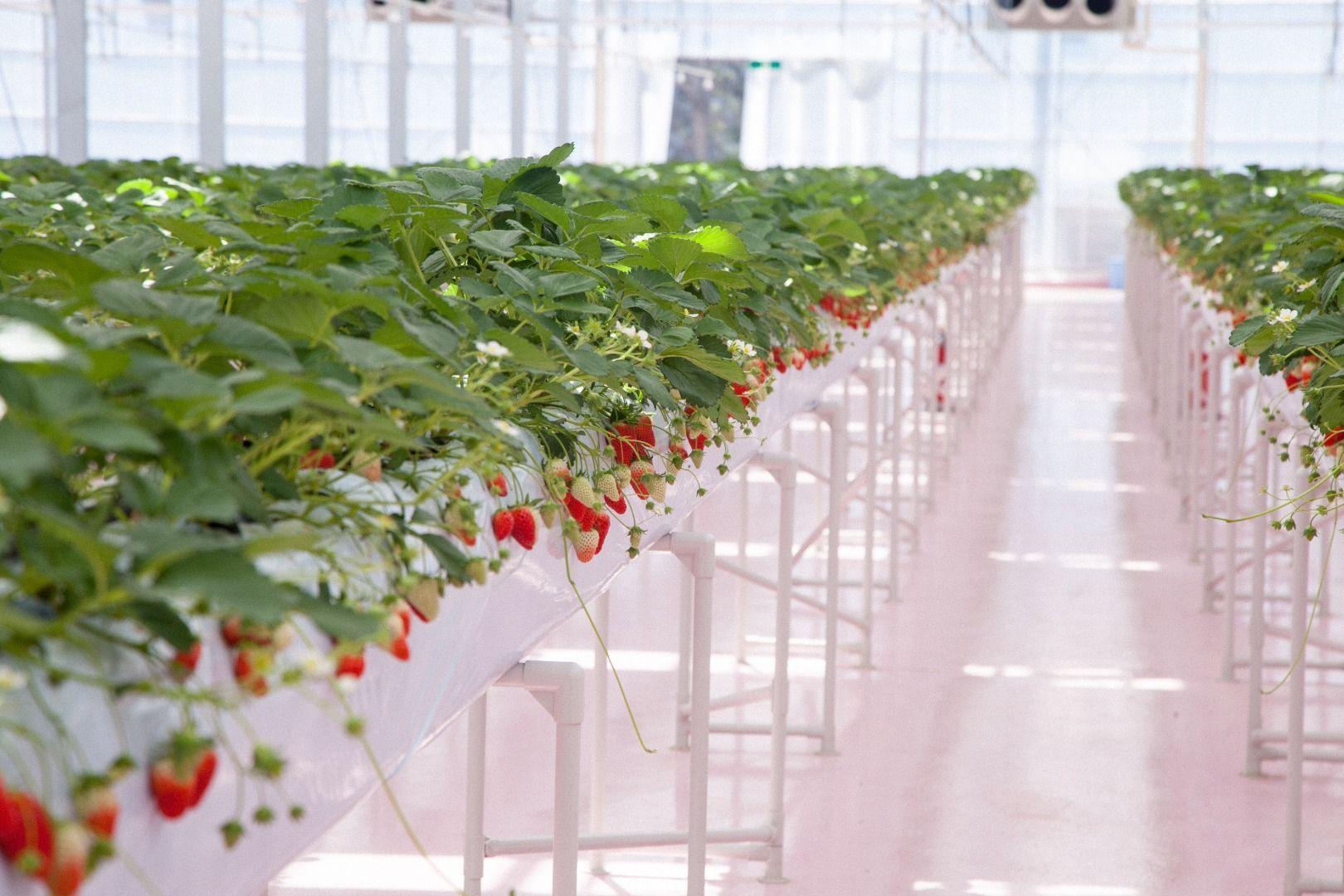 """Strawberries Picking Throughout the Year!  """"TOKYO STRAWBERRY PARK""""(Kanagawa)"""