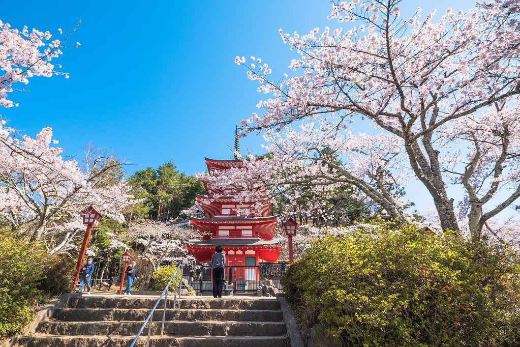 cherry blossoms Arakurayama Sengen Park (Yamanashi)