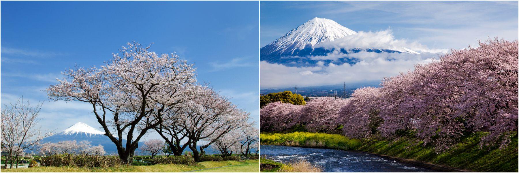 Do not miss this combination of Mt. Fuji's reflection and Yoshino Cherry Trees! - Tanuki Lake (Shizuoka)