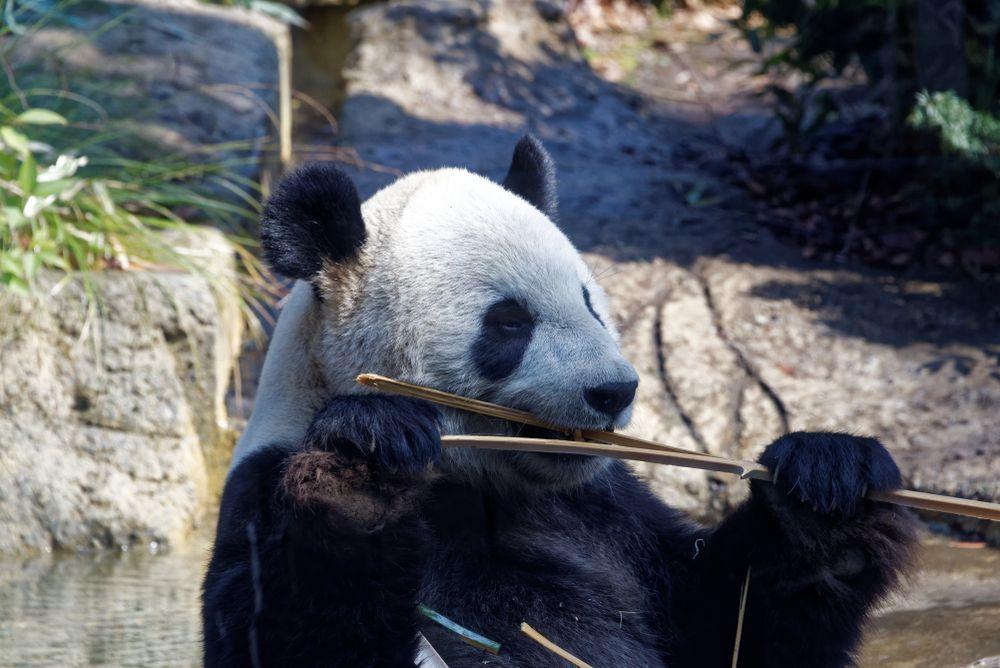 Japan Ueno zoo panda