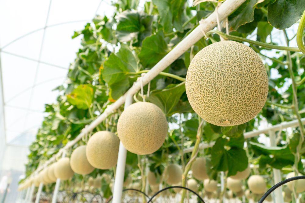 Japan Fruit Melon