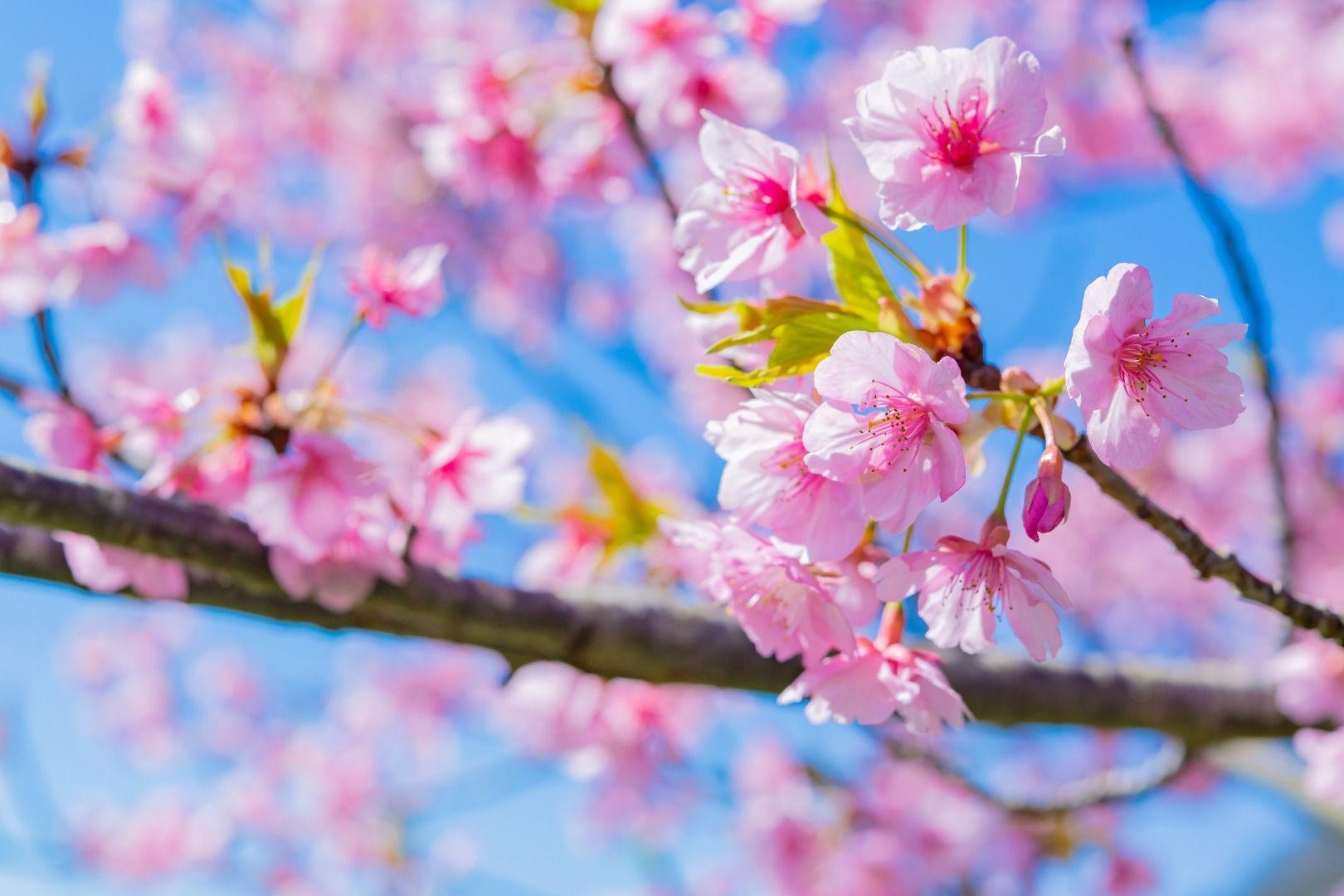 """Izu """"Kawazu-zakura"""" cherry blossoms"""