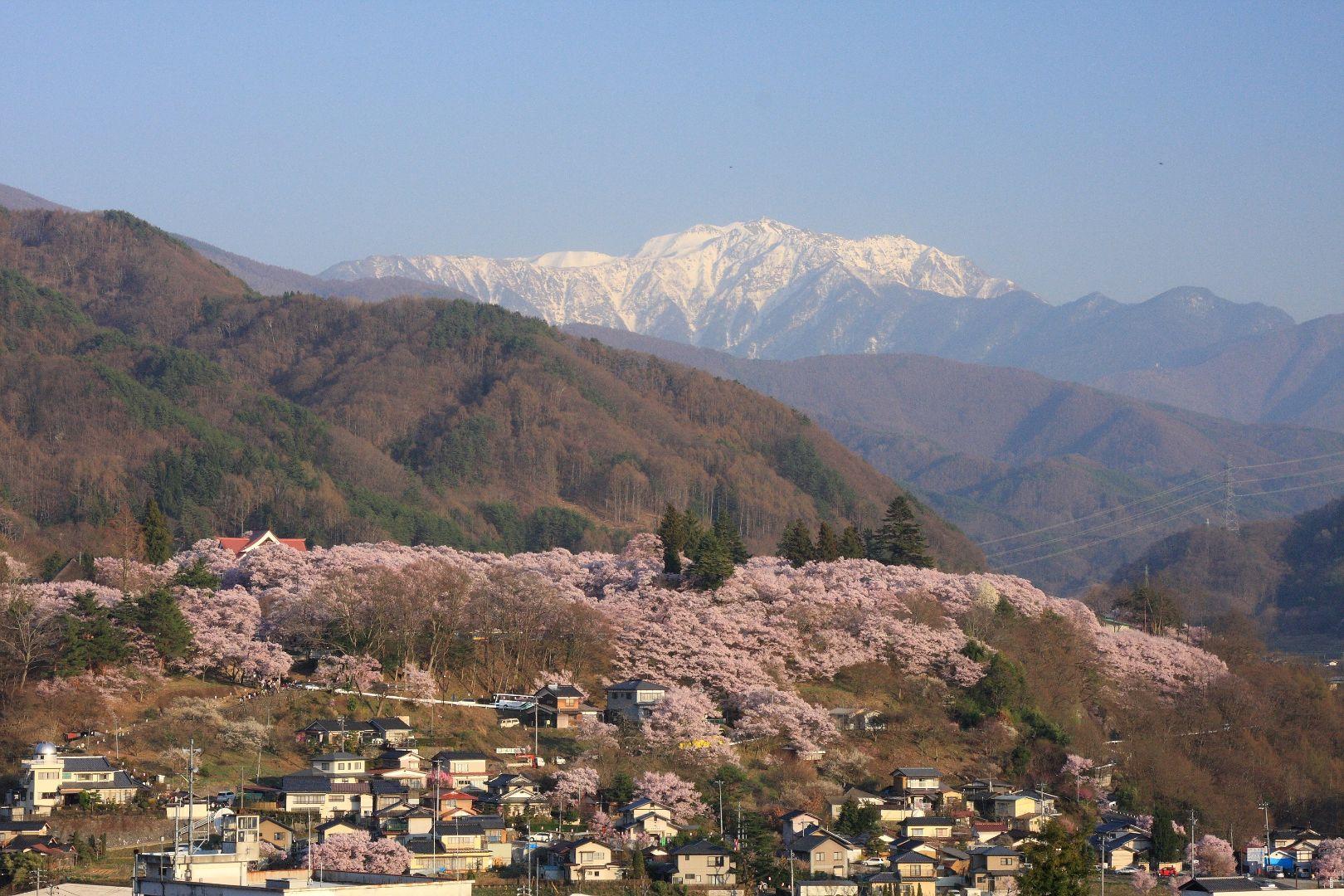 The Takato Kohiganzakura at Takato Castle Park Sakura Festival (Nagano Prefecture)ⓒ伊那市観光協会