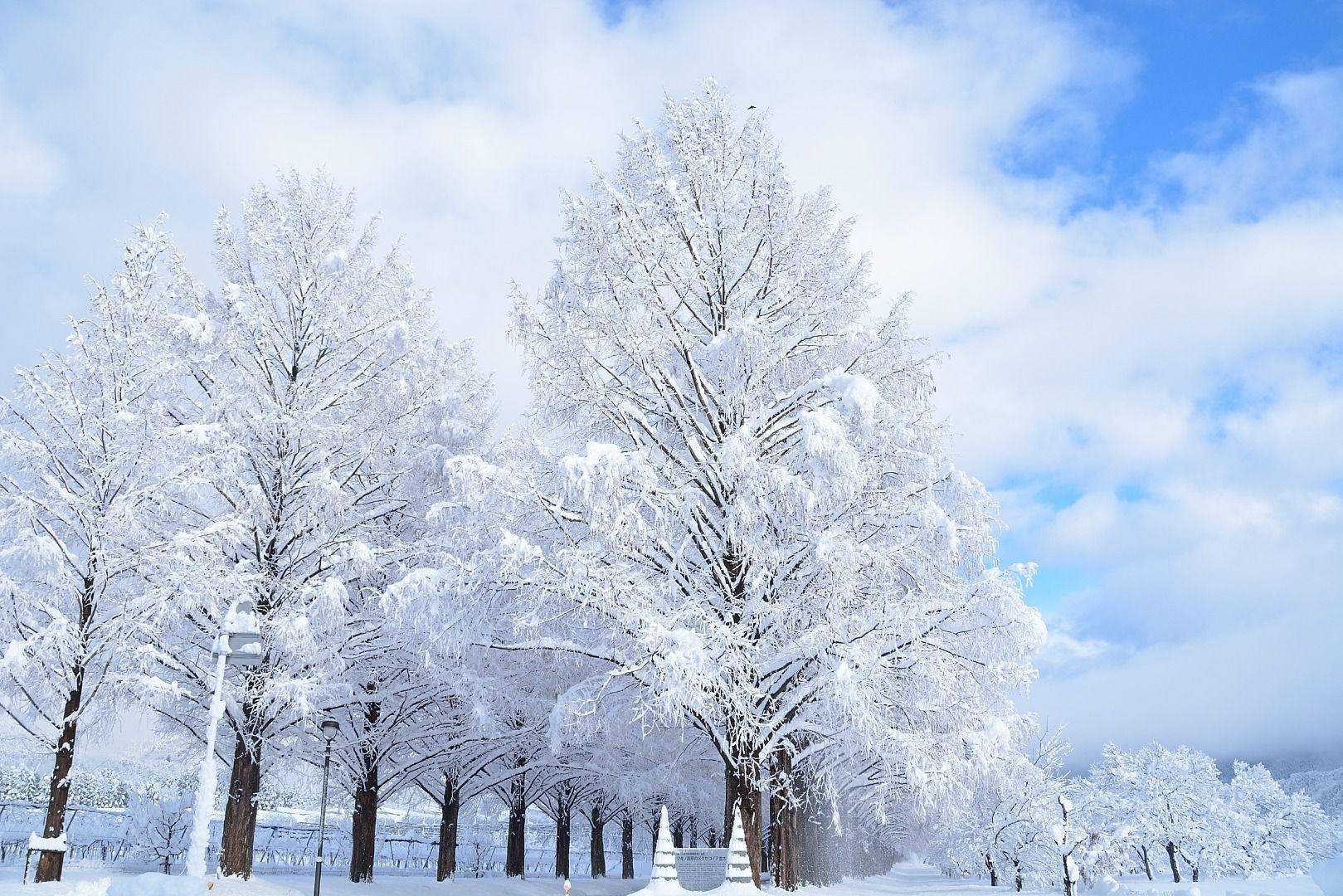 Metasequoia Namiki Avenue Snow