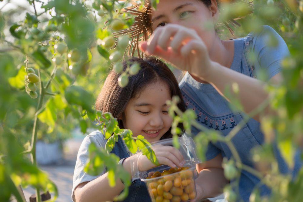 Japan Fruits picking