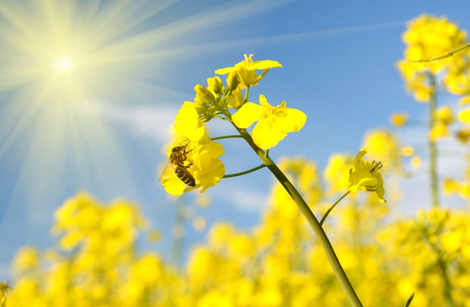 "Revel in This Otherworldly Field of Yellow Flowers! - Cherry Blossom and Nanohana at ""SL, Sakura, Nanohana Avenue"" (Tochigi) and Abukuma Kasenjiki Field (Miyagi)"