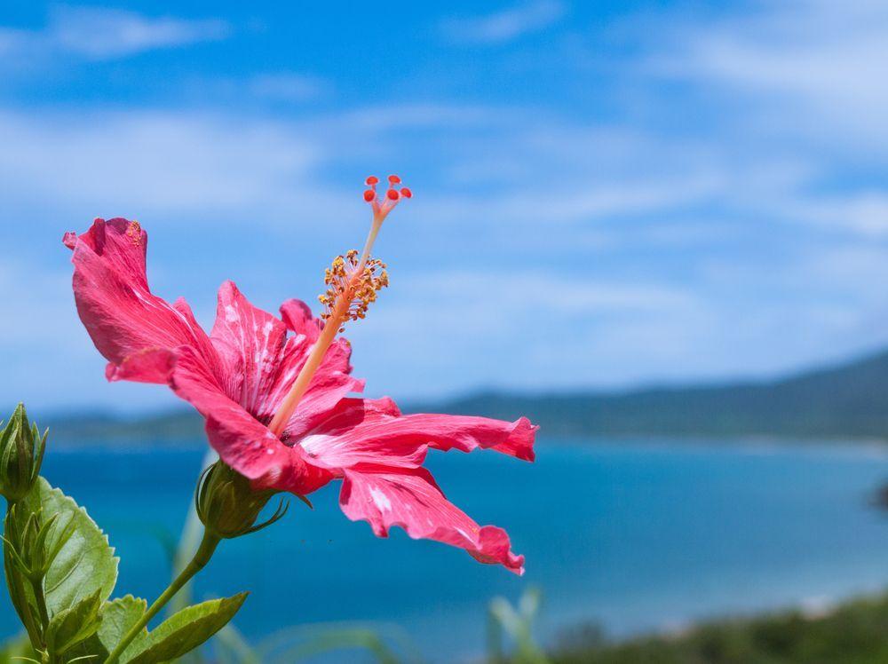 Japan Okinawa Summer Hibiscus
