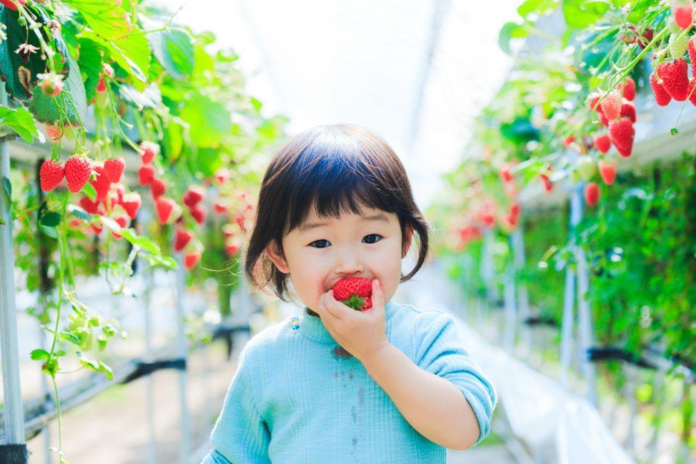 Japan Strawberry picking