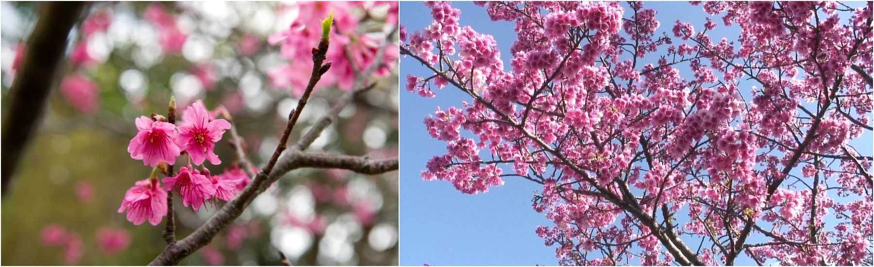 Japan's Symbol of Spring, Sakura(Cherry Blossoms)