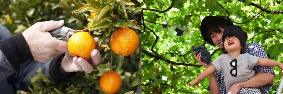 Japan Nakagomi Fruits
