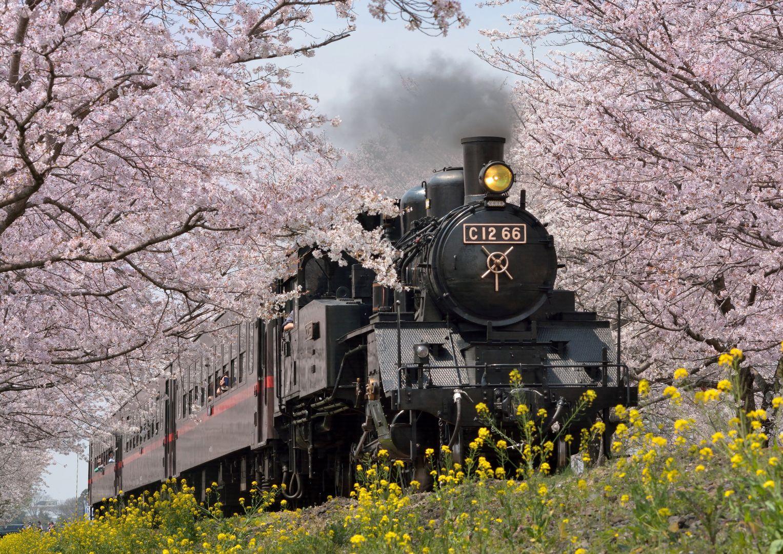 "Revel in This Otherworldly Field of Yellow Flowers! - Cherry Blossom and Nanohana at ""SL, Sakura, Nanohana Avenue"" (Tochigi) and Abukuma Kasenjiki Field (Miyagi) サクラトンネル"