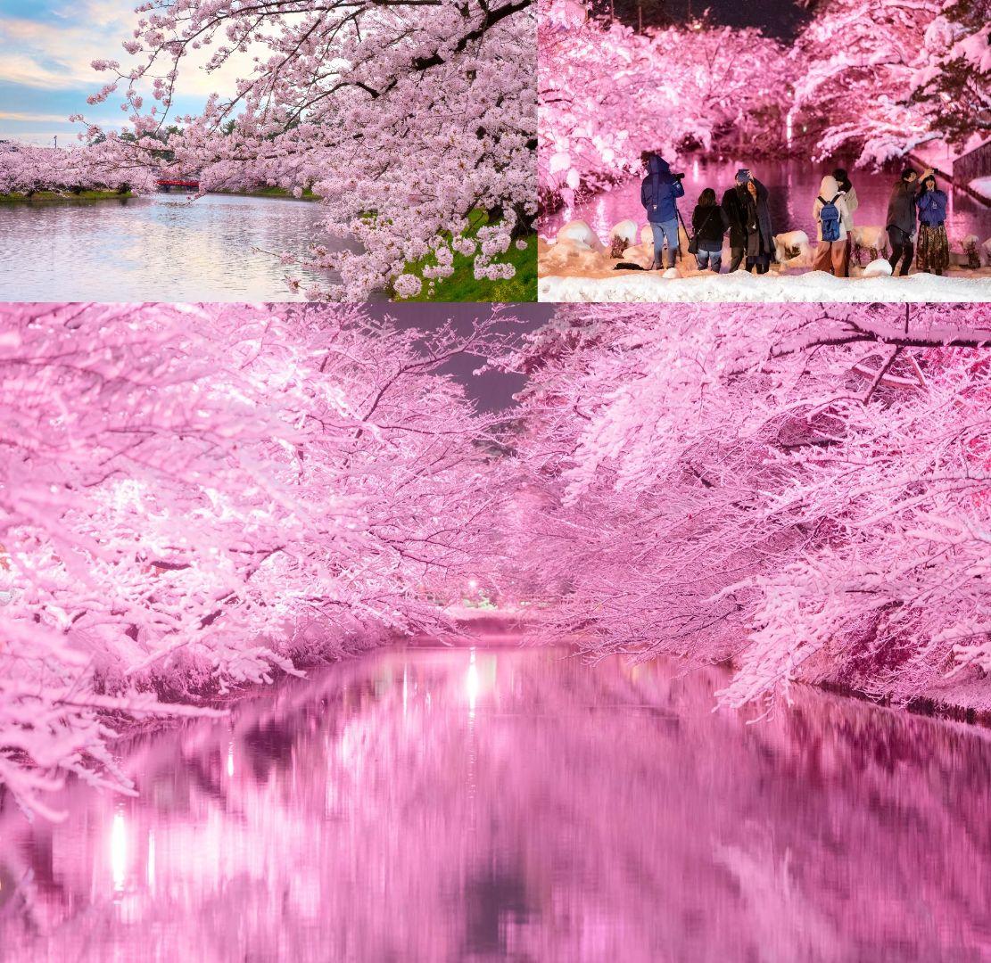 The Hirosaki Sakura Festival 2020 (Aomori Prefecture)