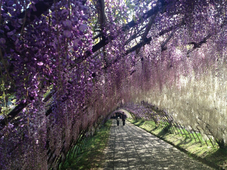 Kawachi Wisteria Garden (Fukuoka)
