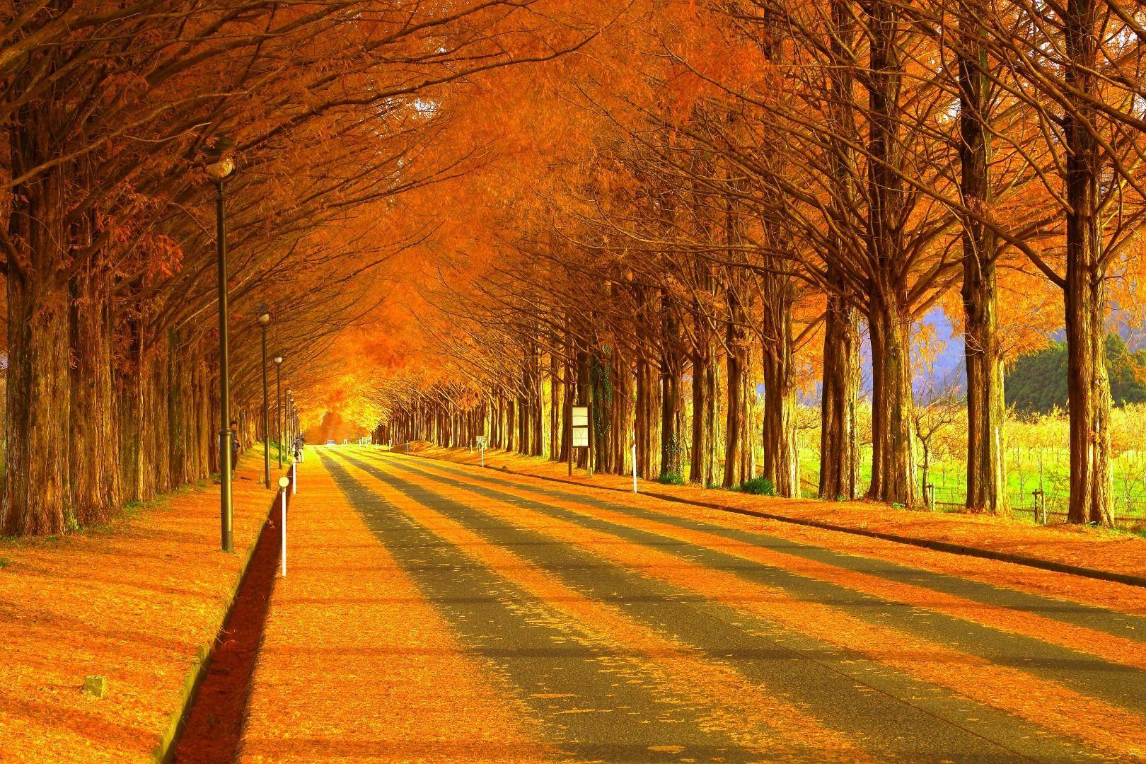 Metasequoia Namiki Avenue Autumn