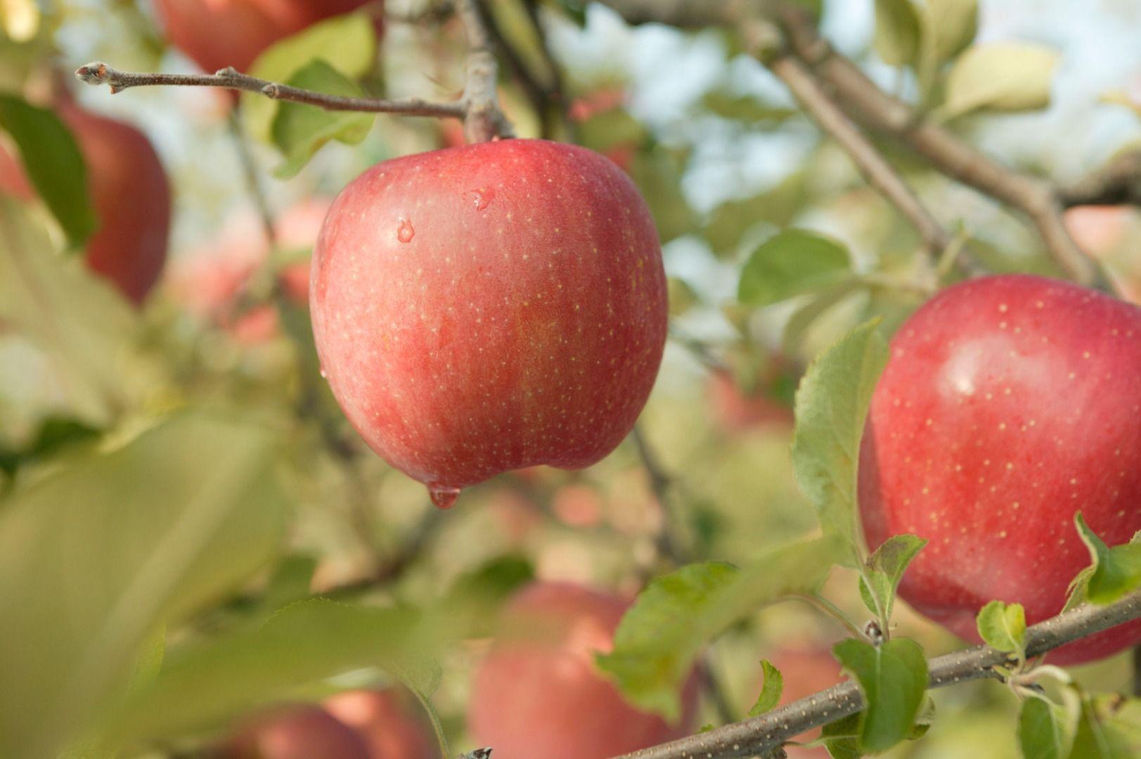 Aomori Prefecture Apple
